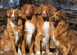 Tollers, Tollers Everywhere